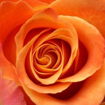 600px-Rose_Orangefarbig